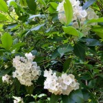 Mountain laurel Clifton Va