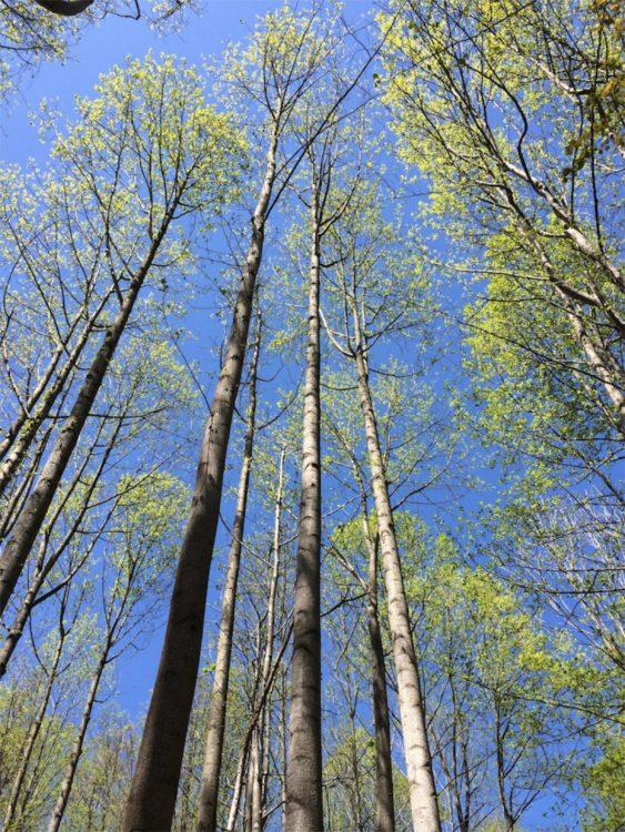 Tall trees CCT seg8