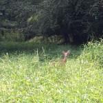 Deer along Long Branch SV