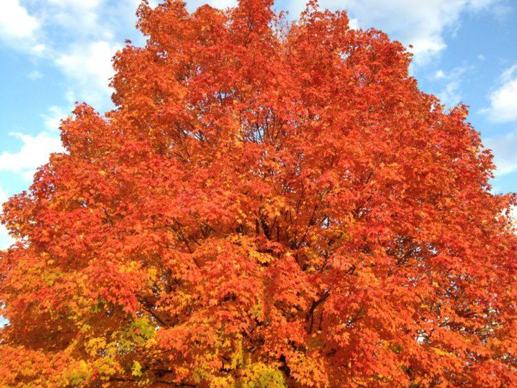 Brilliant fall foliage in Reston Virginia
