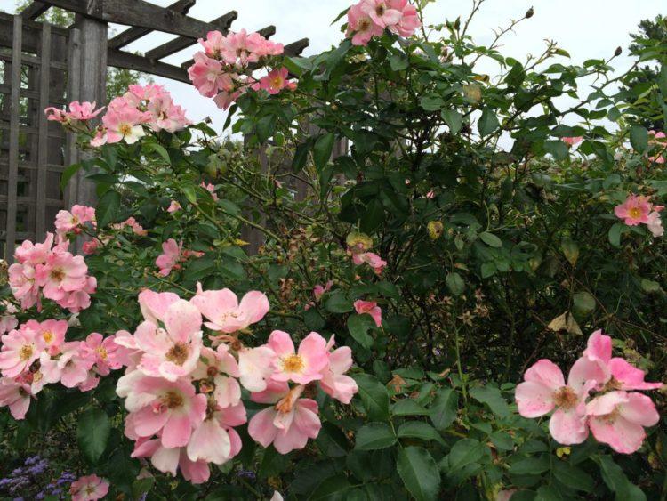 Rose garden Green Spring