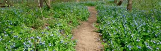 Bluebells in full bloom at Riverbend Park, Great Falls Virginia