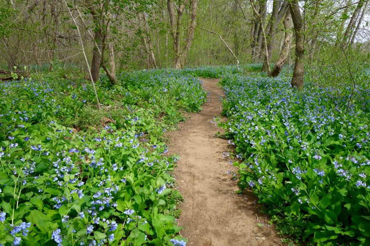 Bluebells line the path on Spring hikes in Northern Virginia at Riverbend Park.