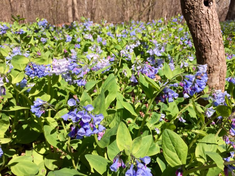 Bluebells blossoming at Riverbend Park Virginia