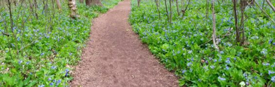 Bluebells surround the Potomac Heritage Trail at Riverbend Park