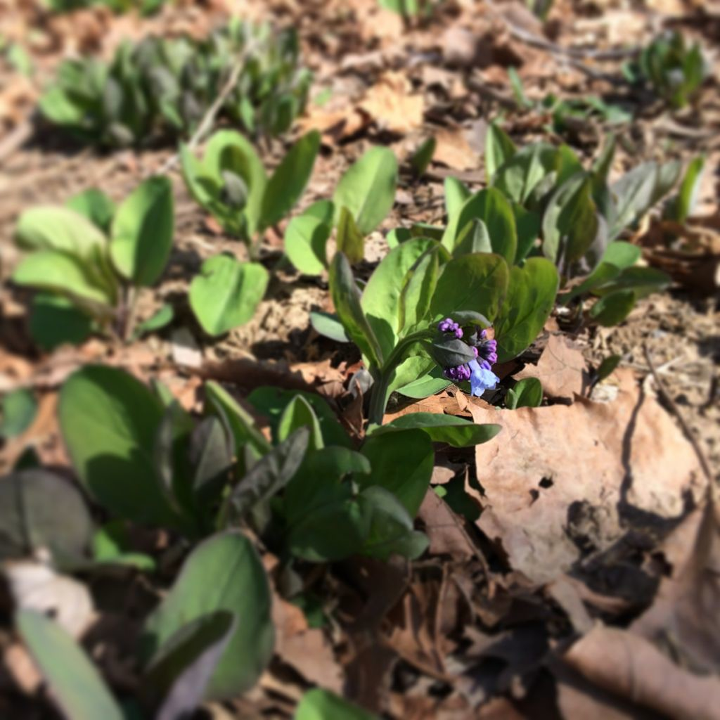 Virginia Bluebells start to bloom in early April