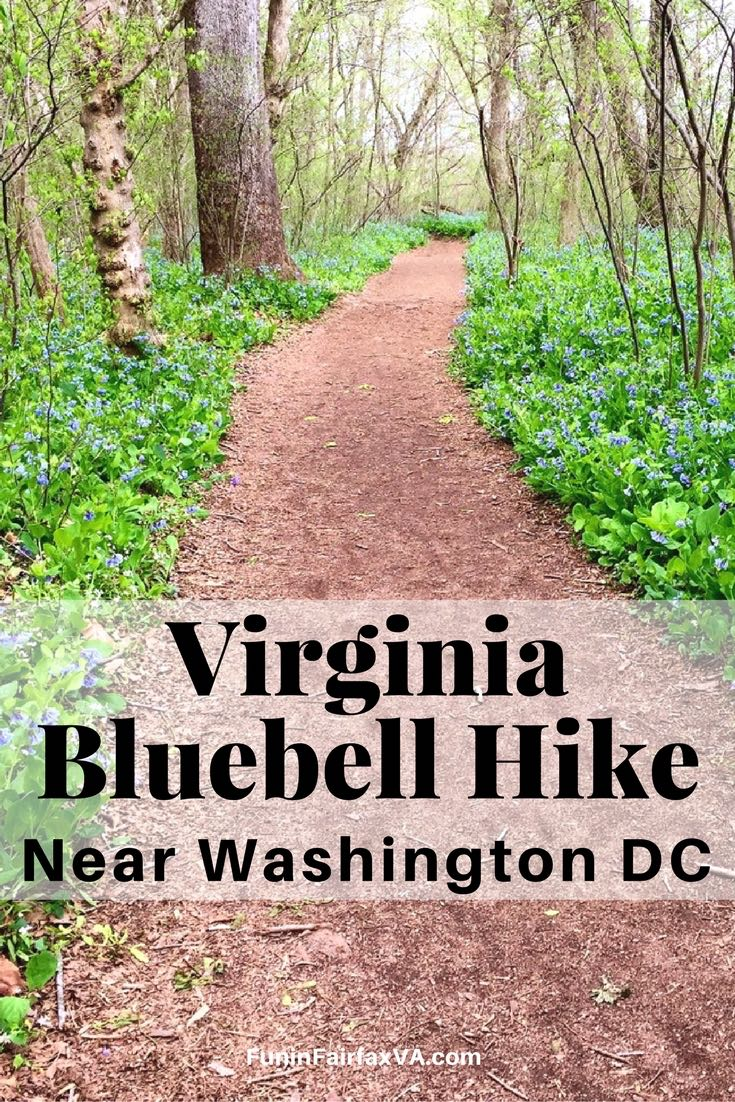 Enjoy a beautiful Spring hike near Washington DC, when Virginia bluebells cover the ground at Riverbend Park in Great Falls, Virginia.