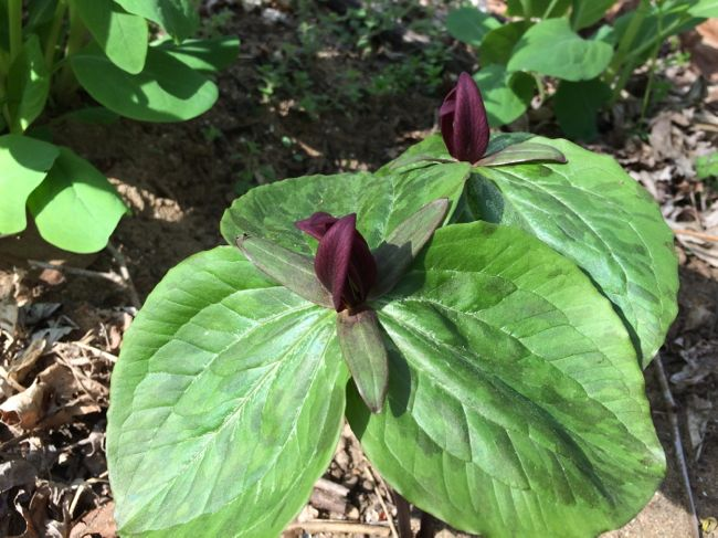 Two red Trillium at Riverbend Park in Northern VA