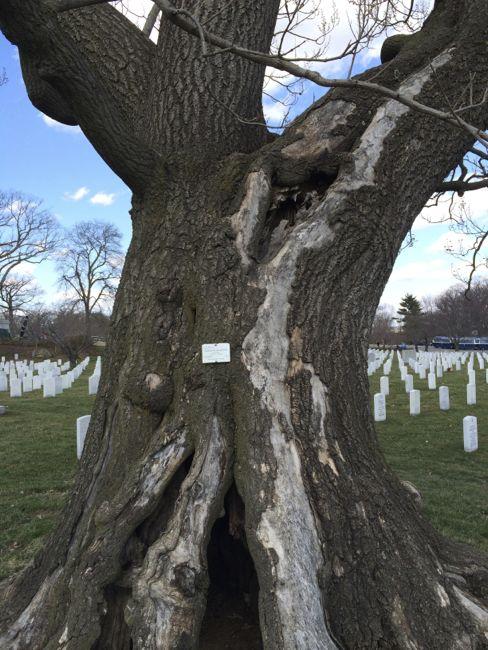 Arlington Memorial tree