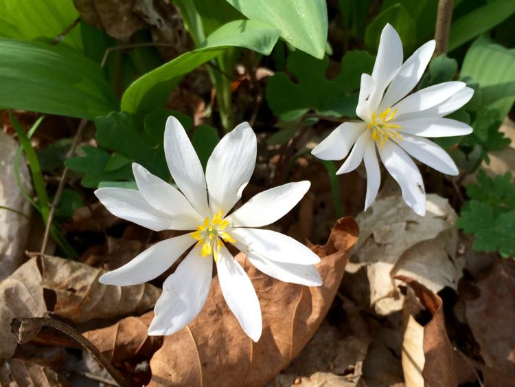 Bloodroot at Riverbend Park Virginia