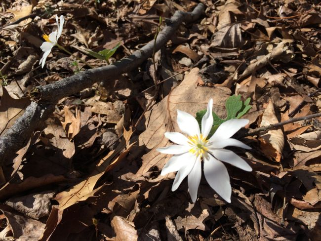 Bloodroot at Red Rock Overlook Park, Virginia