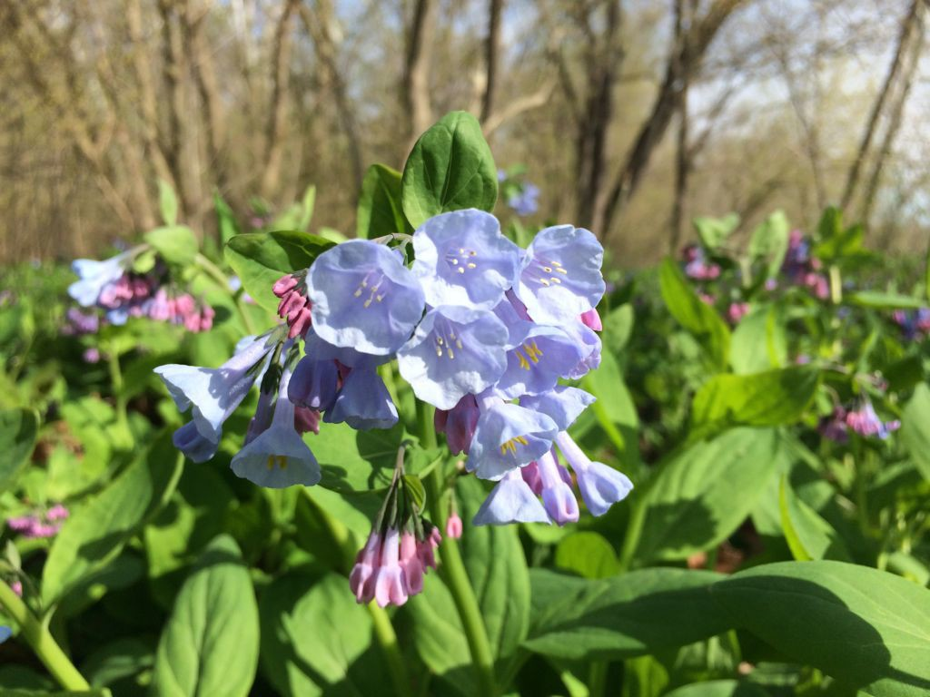 Bluebell blooms apr13 Riverbend