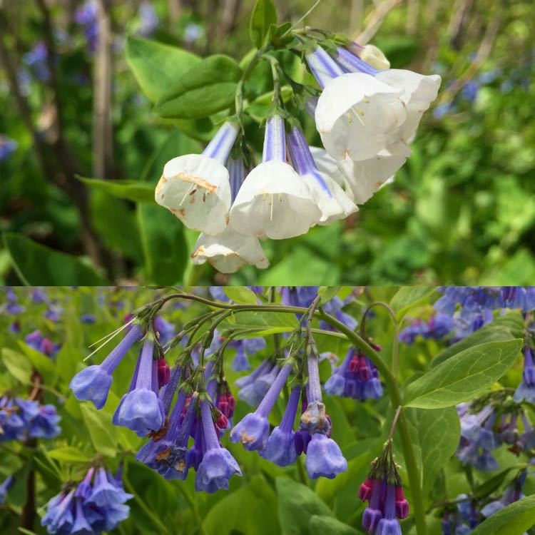 Keep an eye out for bluebell color variations like white and pink blooms