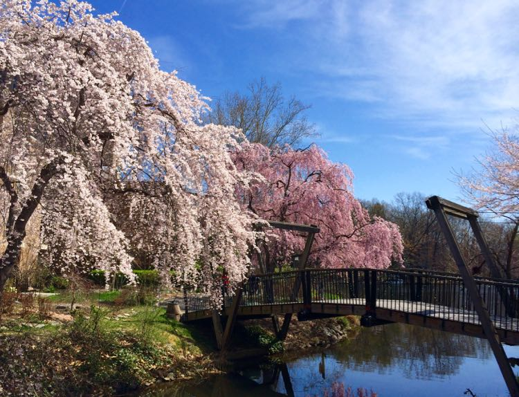 Cherry trees at the Van Gogh Bridge in Reston Virginia