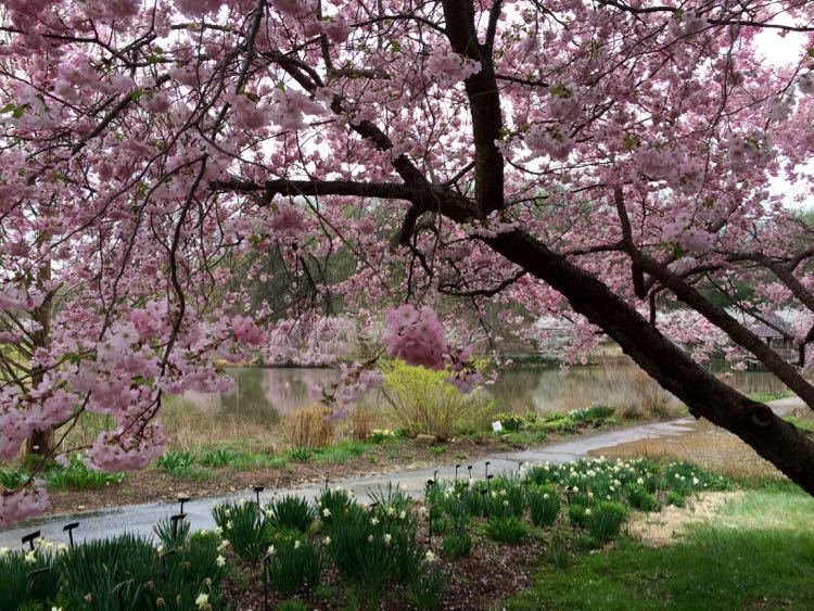 Meadowlark Botanical Garden is a favorite place to see cherry blossoms in Virginia