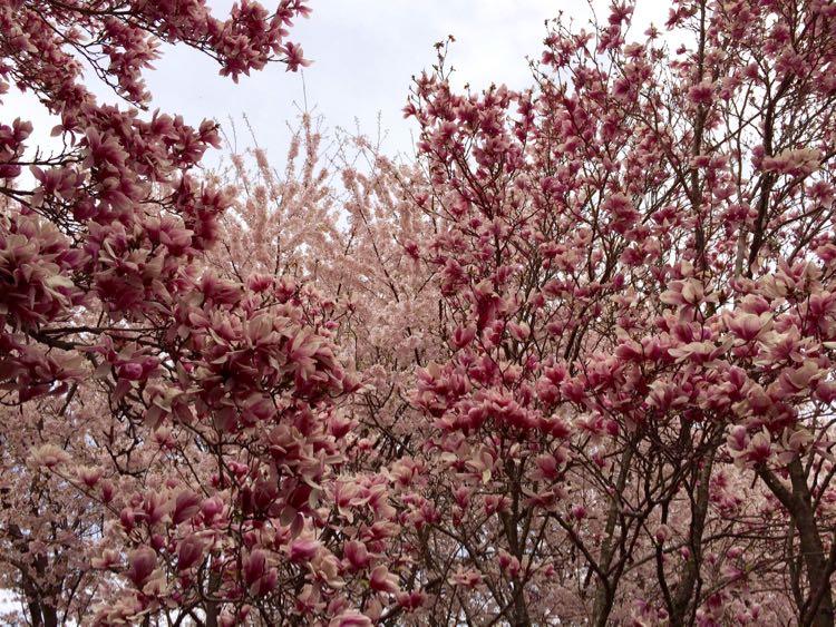 Meadowlark trees in bloom Vienna Virginia