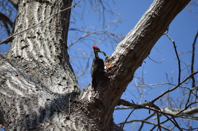 Pileated woodpecker Scotts Run; Photo credit: Katherine McCool