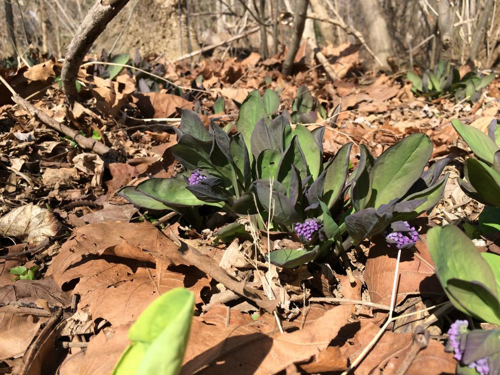Riverbend bluebell buds