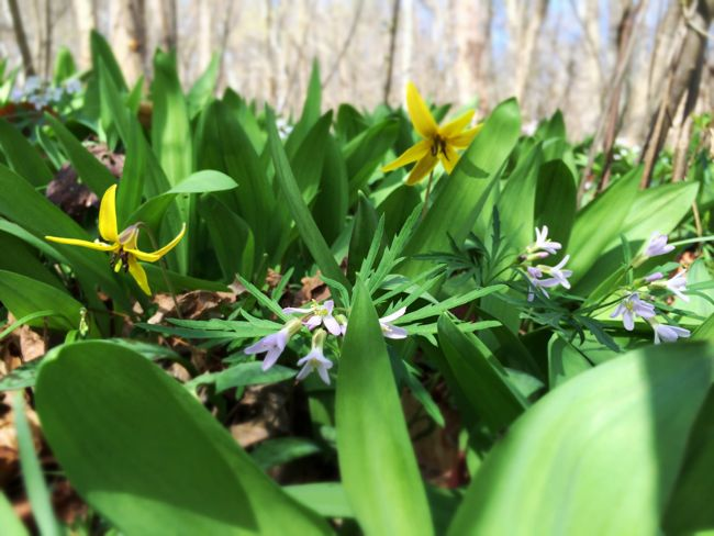 Trout Lily and Cutleaf Toothwort beside the trail