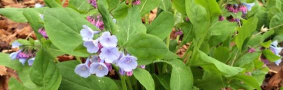 Virgnia Spring Wildflowers funinfairfaxva