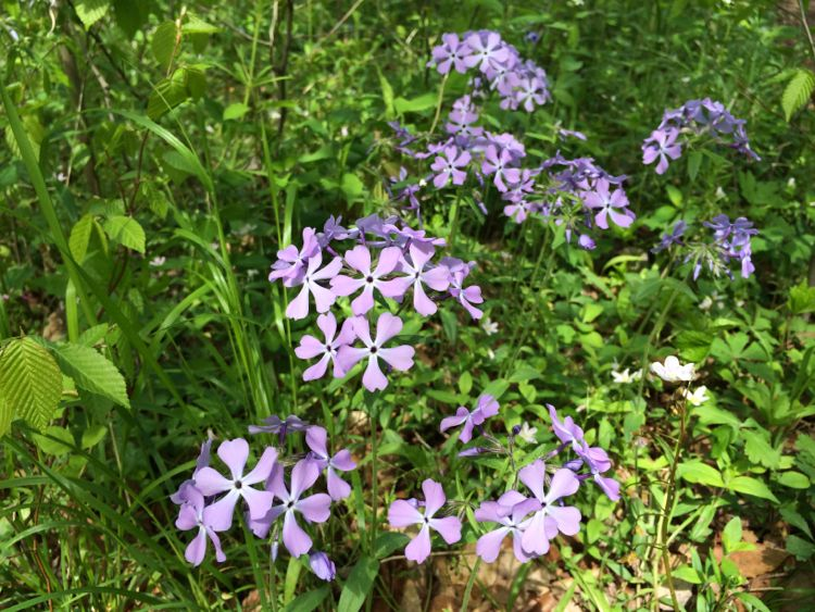 Wild Blue Phlox in Seneca Regional Park Northern Virginia