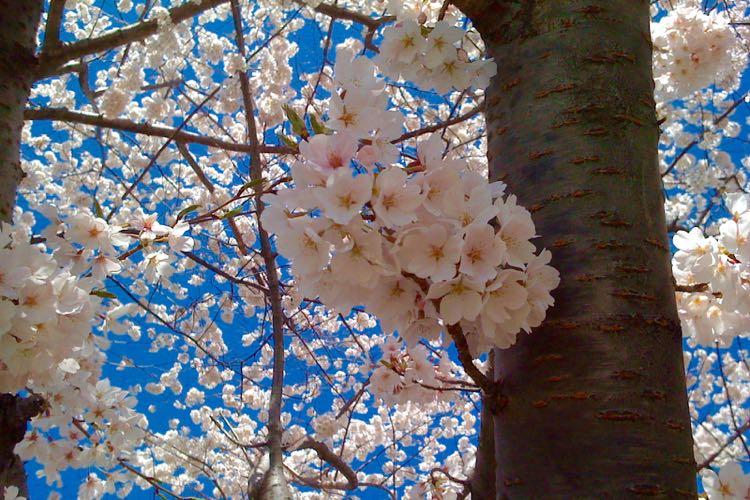 cherry blossoms Alexander Bell Dr Reston Virginia