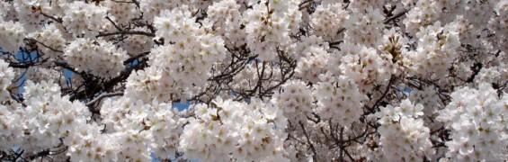white cherry blossoms Tidal Basin Washington DC