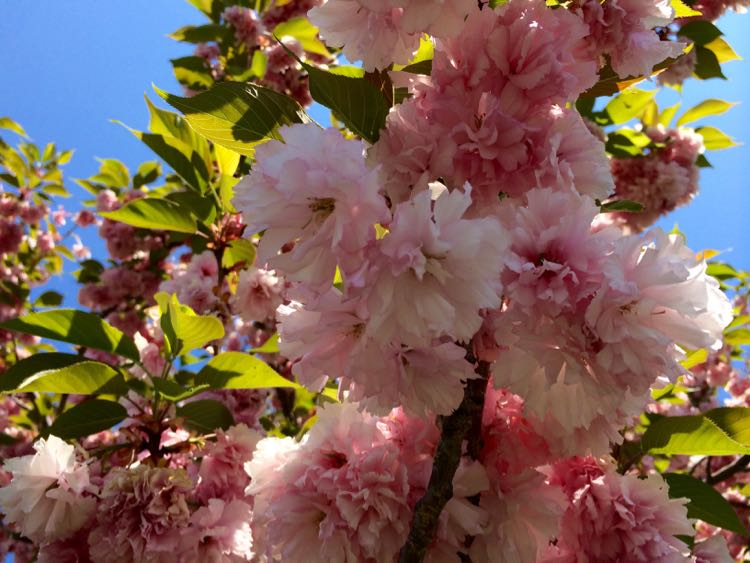 Where to See Cherry Blossoms in Washington DC, Maryland, and Virginia