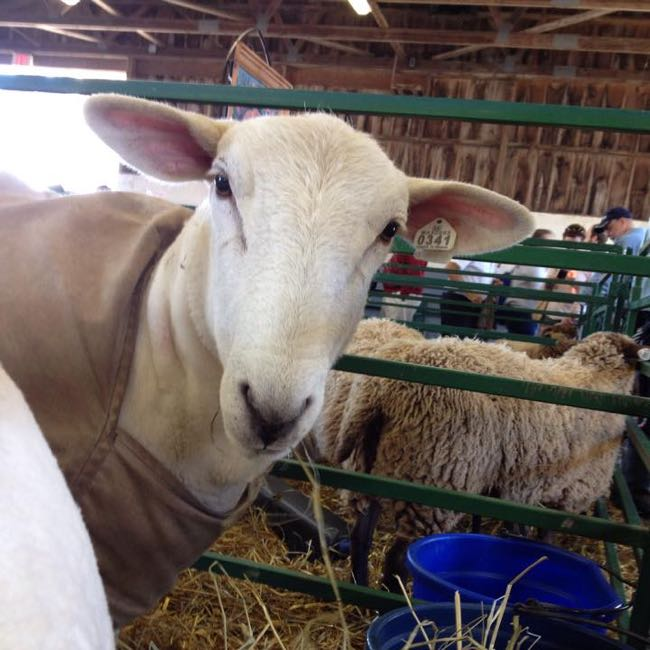 Sheep at the County Fair