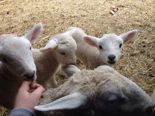 3 baby sheep