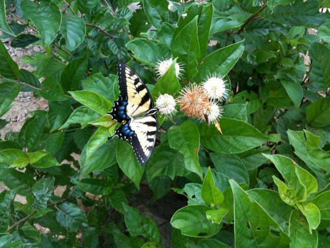 Summer butterfly FuninFairfaxVA