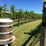 Great Frogs Winery cab vines