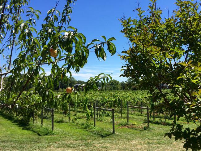Great Frogs Winery vineyard