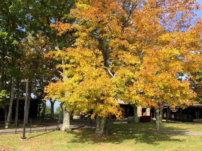 Maple tree at Skyland Lodge, Shenandoah National Park