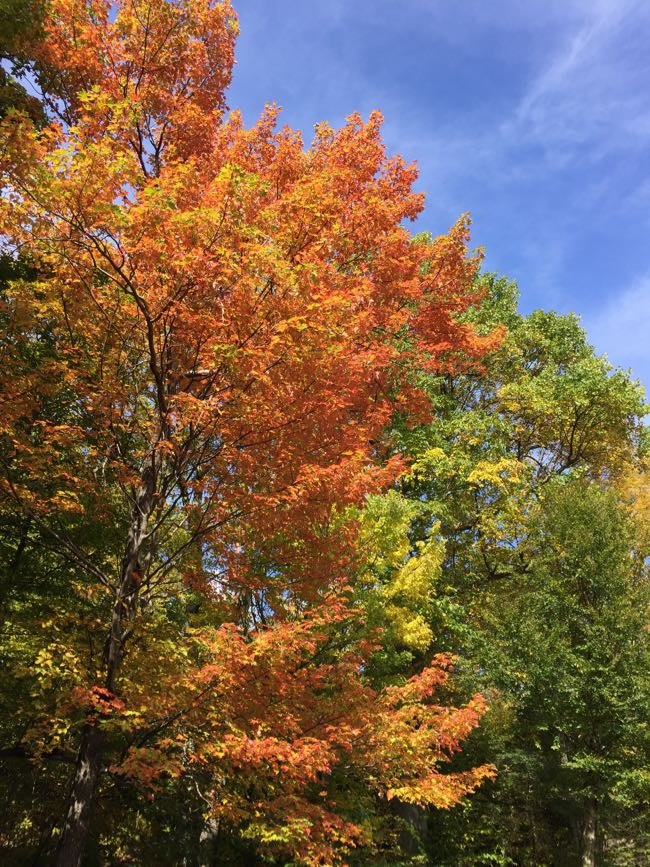 Maple trees along Skyline Drive add pops of orange and red to Shenandoah foliage