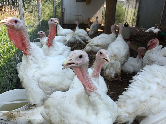 Thanksgiving turkeys