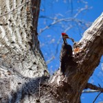 Pileated woodpecker Scotts Run
