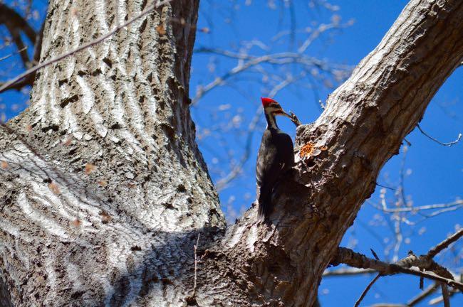 Pileated woodpecker Scotts Run