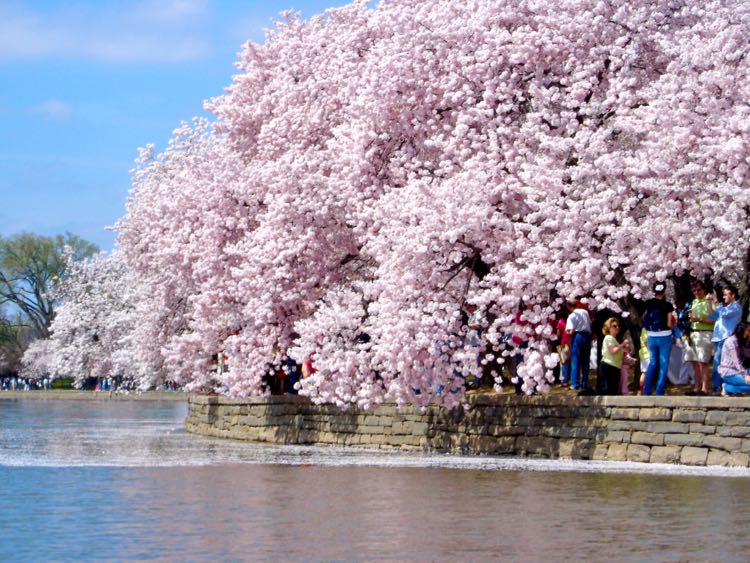 Cherry Blossoms from Tidal Basin paddle boat, Washington DC