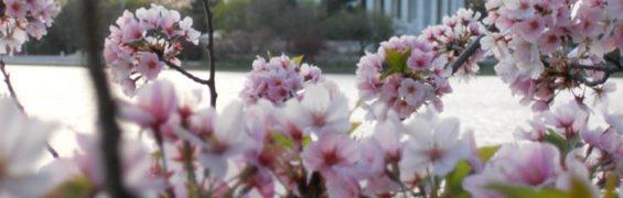 Cherry blossoms Jefferson Memorial McCoolTravel