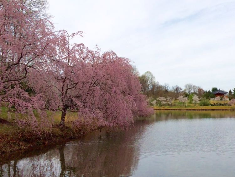 Weeping cherry trees Meadowlark Vienna Virginia