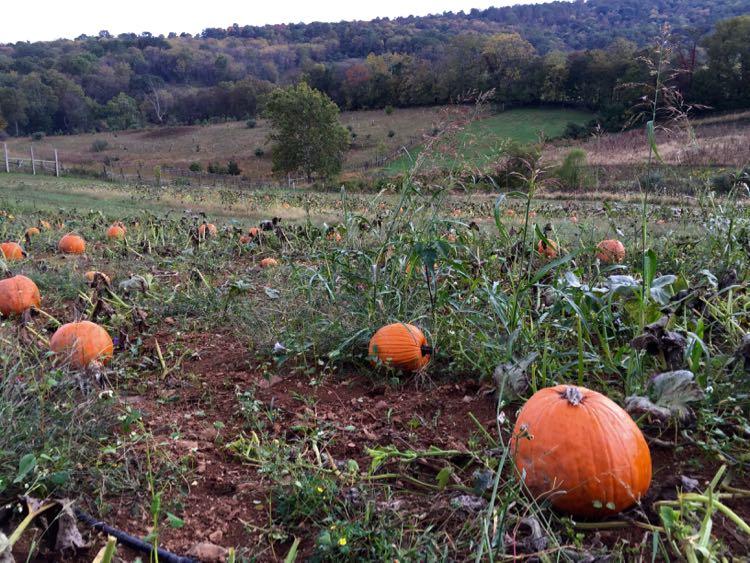 Sky Meadows SP pumpkin field