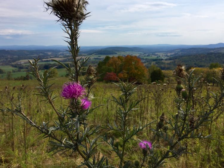 Thistles and fall foliage Sky Meadows Virginia