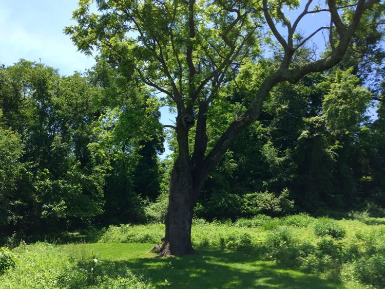 Black Walnut tree River Farm