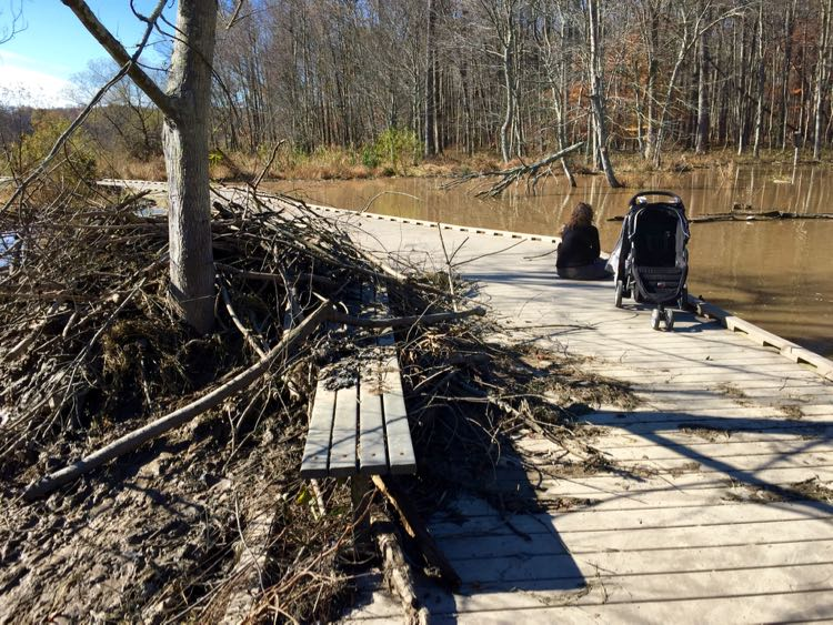 Beaver dam covers part of the boardwalk at Huntley Meadows Park in Northern VA