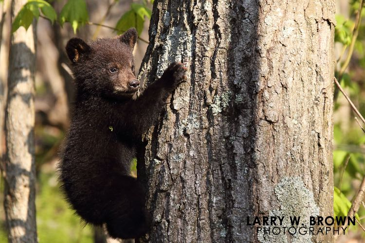 Bear Cub photo by Larry Brown