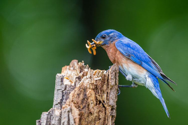 Bluebird photo by Tom Stovall
