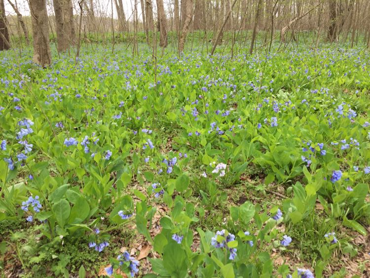 Follow the Hollow Trail Bluebells at Riverbend