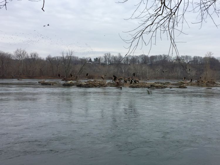Geese in flight Riverbend Park