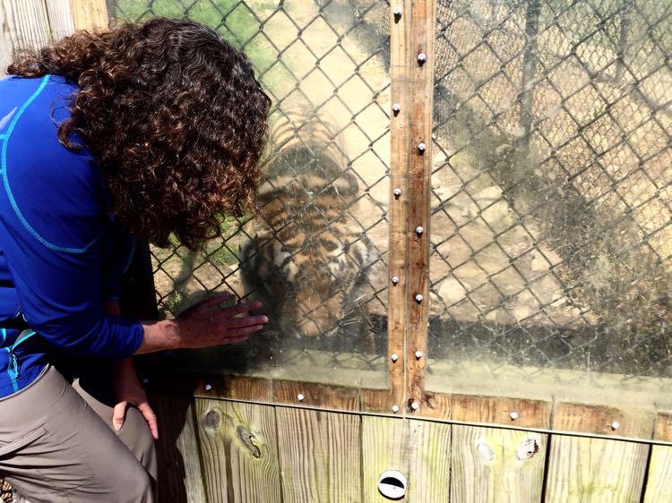 Safari Tour tiger at Nemacolin Resort